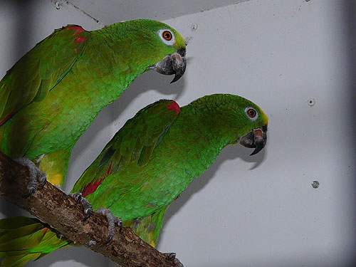 photo Yellow-crowned amazon / <span class='cursive'>Amazona ochrocephala ochrocephala</span>