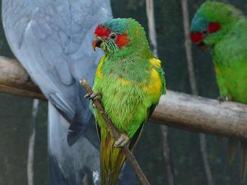 photo Musk lorikeet / <span class='cursive'>Glossopsitta concinna</span>