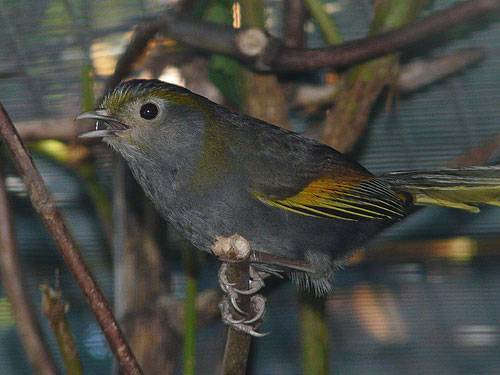 photo Mount Omei babbler / <span class='cursive'>Liocichla omeiensis</span>