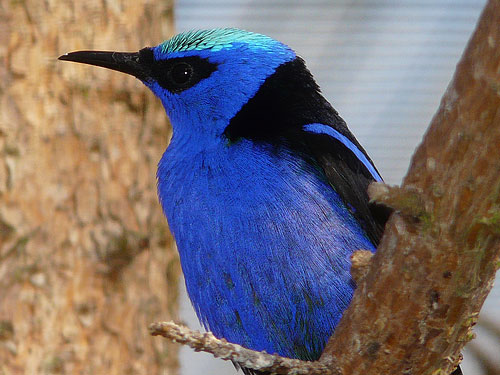 photo Red-legged honeycreeper / <span class='cursive'>Cyanerpes cyaneus</span>