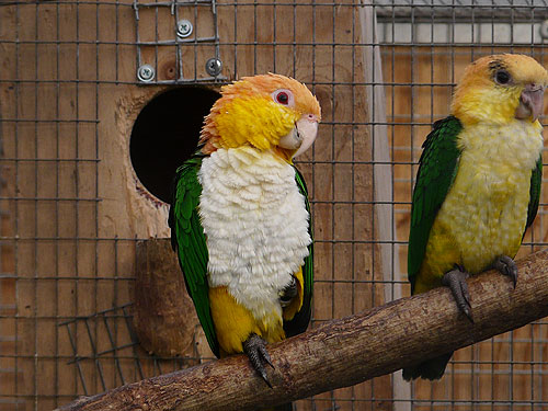 White-bellied caique