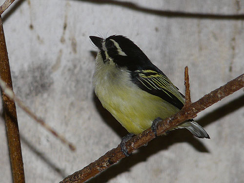 Golden-rumped tinkerbird