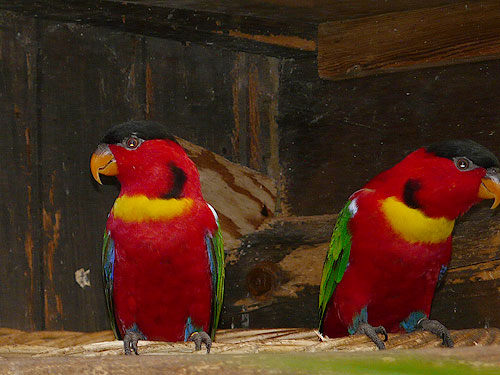photo Yellow-bibbed lory / <span class='cursive'>Lorius chlorocercus</span>