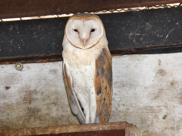 photo Common barn owl / <span class='cursive'>Tyto alba erlangeri</span>