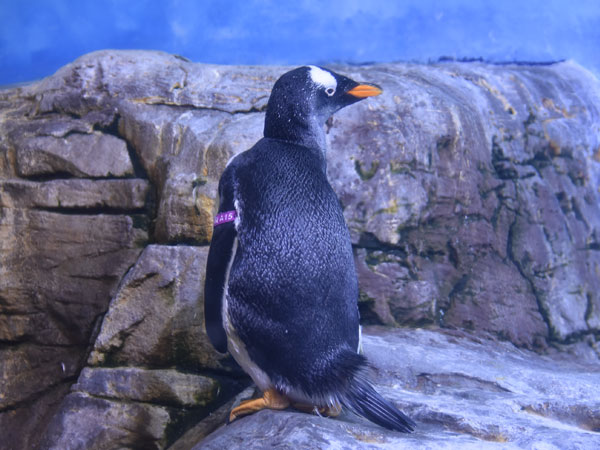 photo Gentoo penguin / <span class='cursive'>Pygoscelis papua</span>