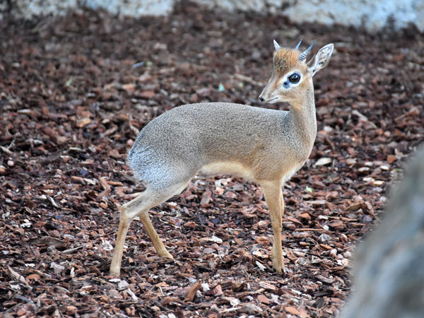 photo Kirk's dik-dik / <span class='cursive'>Madoqua kirkii</span>