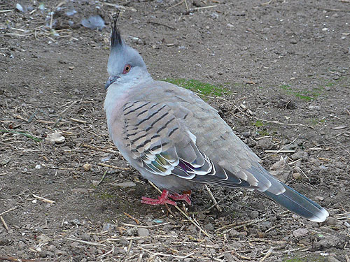 photo Crested pigeon / <span class='cursive'>Ocyphaps lophotes</span>