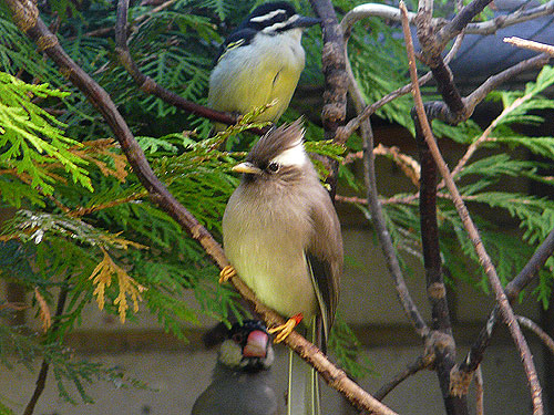 White-collared yuhina