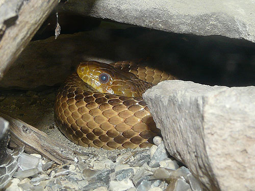 photo Western ratsnake / <span class='cursive'>Pantherophis obsoletus</span>