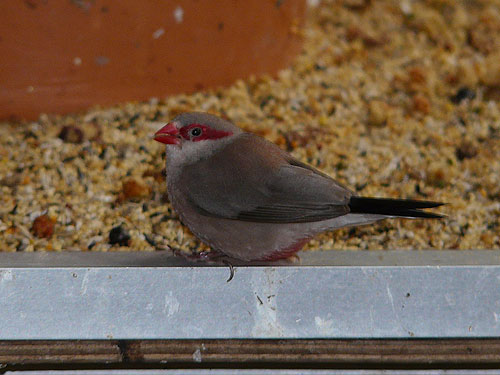 photo Black-rumped waxbill / <span class='cursive'>Estrilda troglodytes</span>