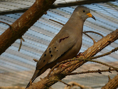 photo Croaking ground dove / <span class='cursive'>Columbina cruziana</span>