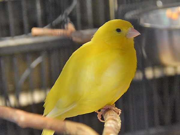 photo Serinus canaria / Common canary