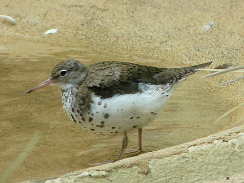 photo Spotted sandpiper / <span class='cursive'>Actitis macularia</span>