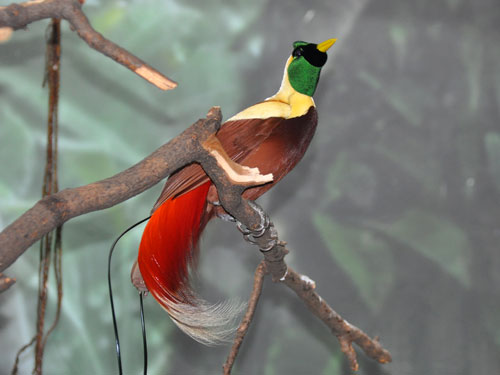 photo Red bird-of-paradise / <span class='cursive'>Paradisaea rubra</span>