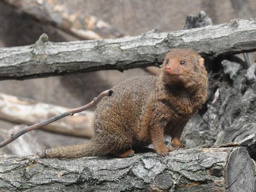 photo Dwarf mongoose / <span class='cursive'>Helogale parvula</span>