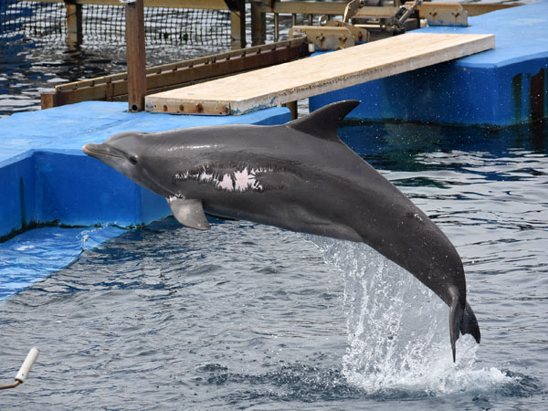 Black sea bottlenose dolphin