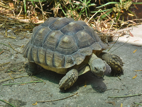 photo African spurred tortoise / <span class='cursive'>Centrochelys sulcata</span>