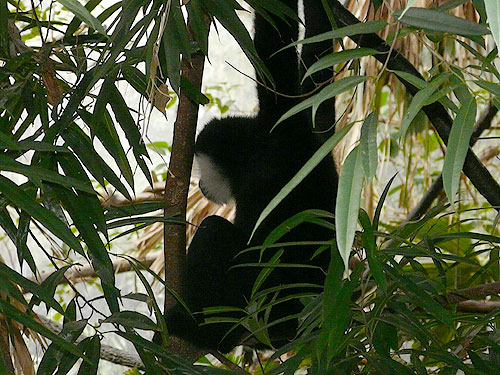 photo <span class='cursive'>Nomascus leucogenys</span> / White-cheeked gibbon