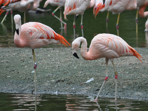 photo Phoenicopterus chilensis / Chilean flamingo