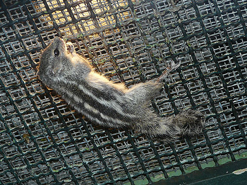 photo Northern palm squirrel / <span class='cursive'>Funambulus pennantii</span>