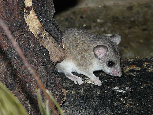 Forest African dormouse