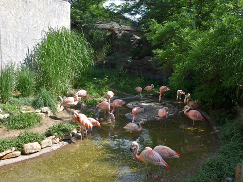 <span>Phoenicopterus chilensis / Chilean flamingo</span><br>