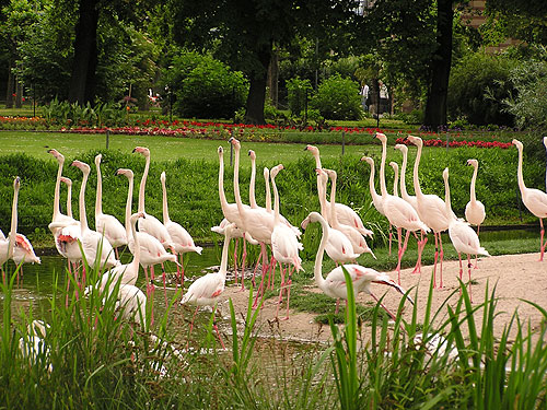 <span>Phoenicopterus roseus / Greater flamingo</span><br>