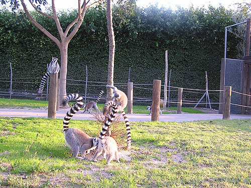 <span>Eulemur fulvus / Brown lemur</span><br><span>Lemur catta / Ring-tailed lemur</span><br>