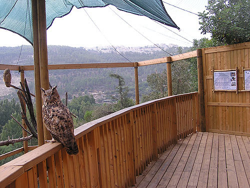 <span>Bubo bubo interpositus / Aharoni's eagle owl</span><br>