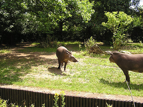 <span>Tapirus terrestris / South American tapir</span><br>